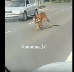 نمر يجوب شوارع روسيا