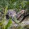 شاهد فهد يتسلل للقضاء على تمساح في معركة حاسمة