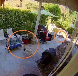 كلب صغير شجاع يهرع لانقاذ صديقه من أنياب الواوي