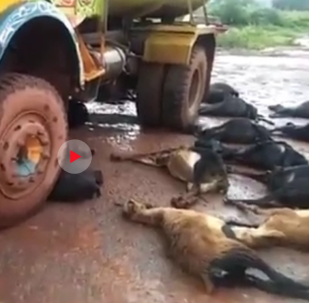صاعقة تقتل 53 من الماعز والغنم المختبئين تحت شاحنة هربا من المطر