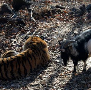 الماعز تيمور و النمر آمور