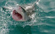 سمكة القرش البيضاء العملاقة