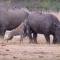 قطيع متوحش من الضباع يهاجهم وحيد القرن ويفترسون ذيله