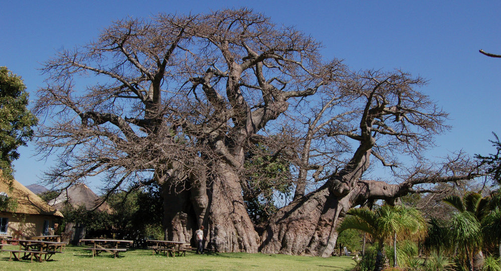 Sunland Baobab in Limpopo, South Africa