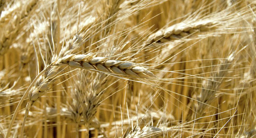 Grain harvest in the fields