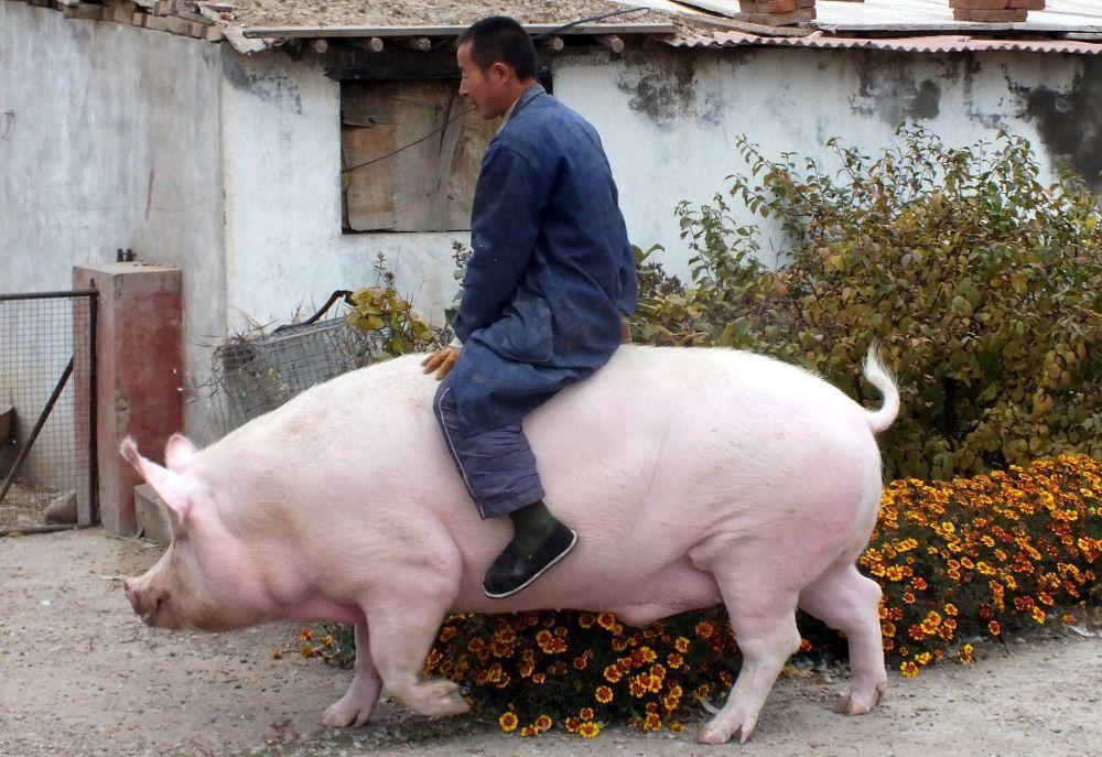 راعي يركب حيوان الخنزير الخاص به