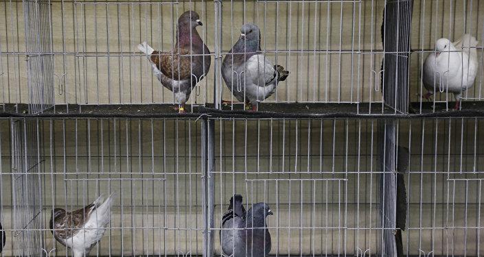 طير الحمام