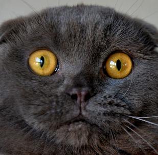 قط اسكتلندي مطوي الأذن في معرض للقطط في بشكيك، 20 مارس/ آذار 2016.