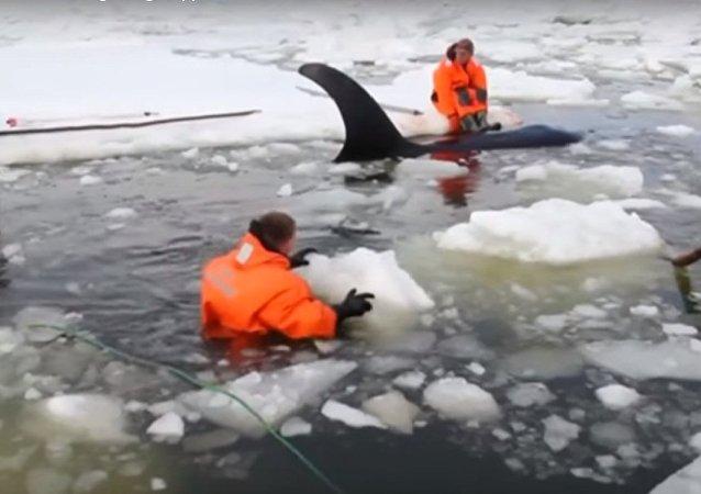 عملية إنقاذ حيتان في المحيط الهادي بروسيا