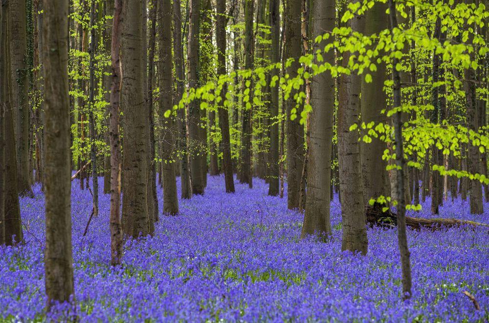 حل فصل الربيع - الورود البرية (الجرس البري) في أوج افتتاحها، في الغابة الزرقاء في بلجيكا، 17 أبريل/ نيسان 2016.