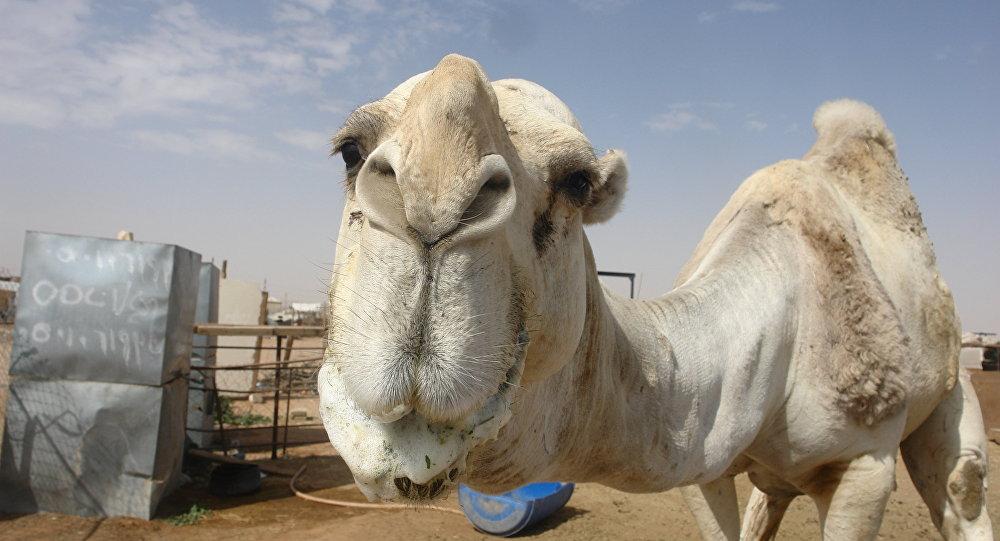At the camel market in Riyadh