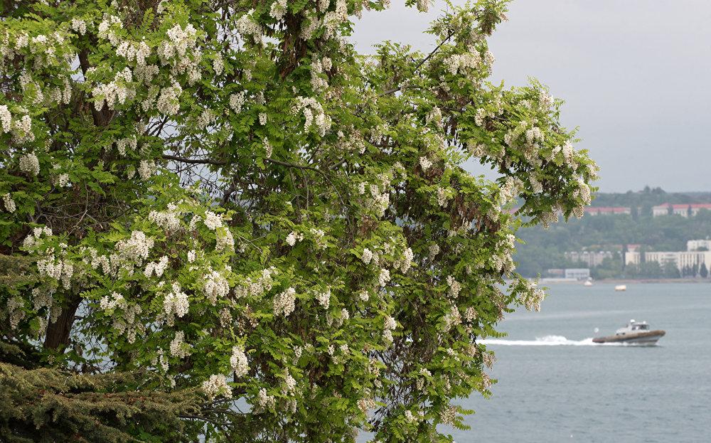 زهور الأكاتسيا على سواحل سيفاستوبل.