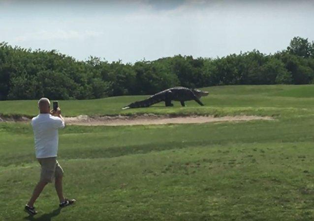 وفجأة... أليغاتور يتمشى على ملعب الغولف