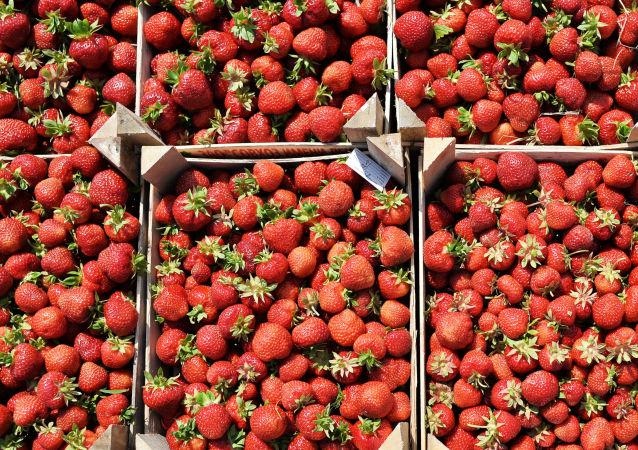 موسم حصاد ثمار الفراولة في محافظة موسكو.