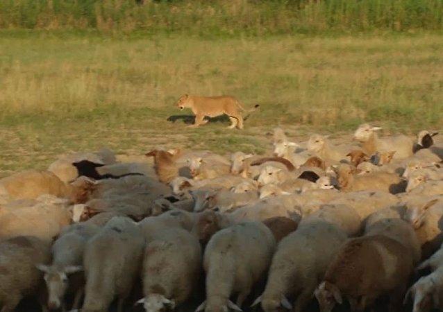 لبؤة تسرح مع الراعي بالغنم
