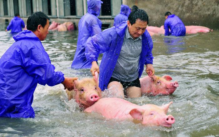 مفاجأة-قلوب-الخنازير-قد-تنقذ-الإنسان