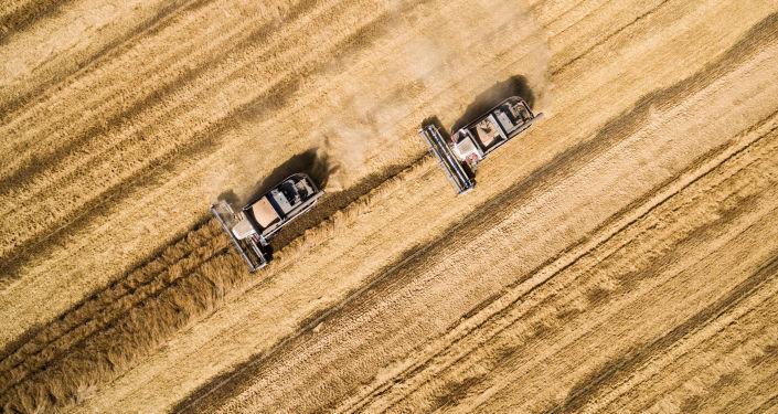 حصاد القمح .