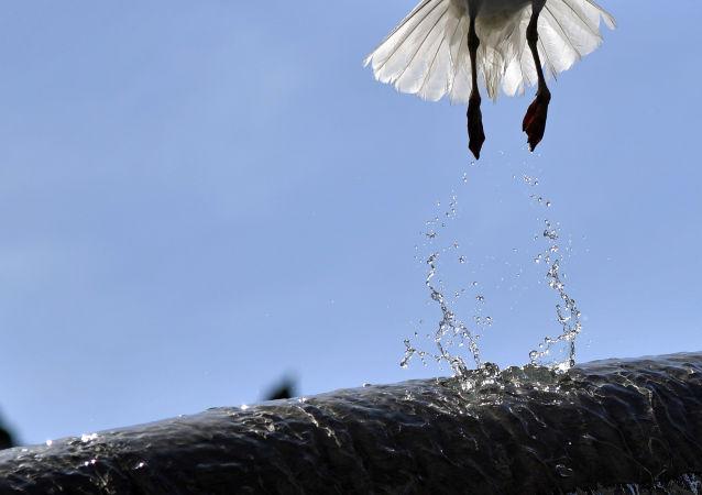 طائر النورس يحلق من على نافورة مياه في روما، 9 يوليو/ تموز 2016