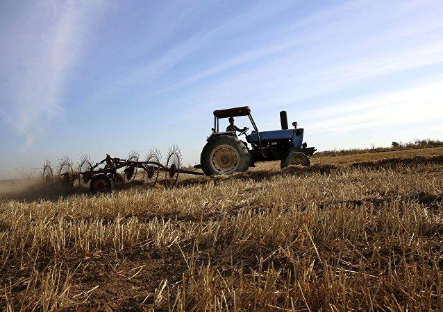 حقول القمح