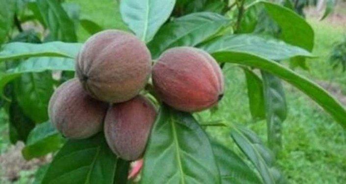 ثمار لعلاج السرطان