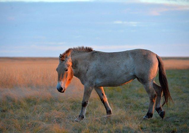 حصان برزيفالسكي