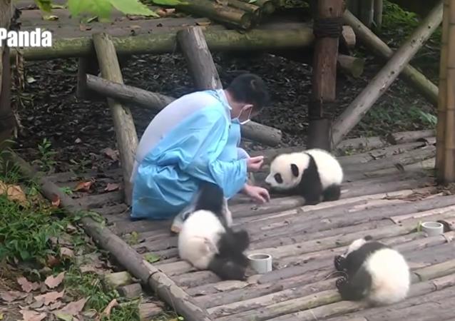 وقت الباندا: ماذا يفعل الباندا عندما يتجاهلونه