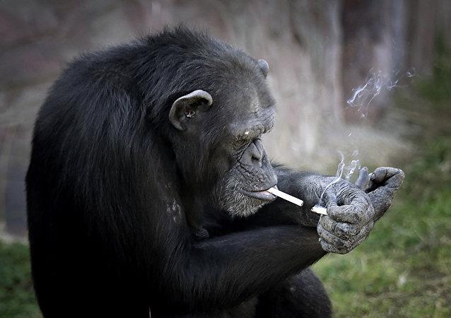 التدخين... عادة الشامبانزي المفضلة