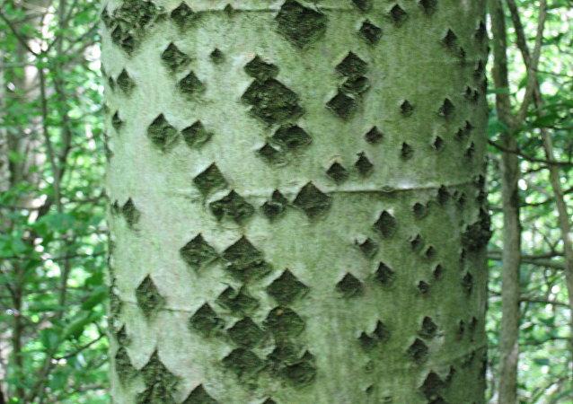 شجرة الحَوْر الأبيض