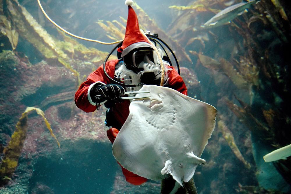 غطّاس يرتدي زي سانتا كلاوز ويُطعم سمكة الشفنين البحري، ألمانيا 2 ديسمبر/ كانون الأول 2016