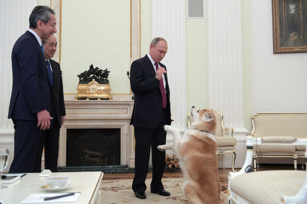 الرئيس الروسي فلاديمير بوتين يلاعب الكلب يوماي بالكرملين، والذي أهداه إياه اليابانيون، خلال لقائه بصحفيي قناة إبون اليابانية وصحيفة إيوميوري اليابانية، موسكو 13 ديسمبر/ كانون الأول 2016.
