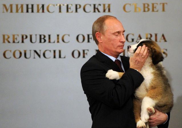 رئيس الوزراء الروسي (حينذاك) فلاديمير بوتين يحمل كلب الراعي البلغاري، الذي أهداه إياه نظيره من باكو، خلال لقائهما في مؤتمر صحفي في صوفيا، 13 نوفمبر/ تشرين الثاني 2016