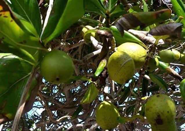 شجرة المانشينيل اخطر شجرة في العالم