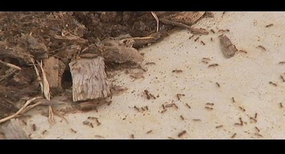النمل الناري