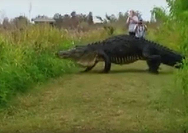 قاطور ضخم جدا في محمية فلوريدا الطبيعية