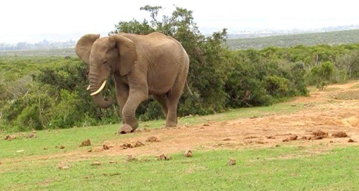 فيل يركل سلحفاة