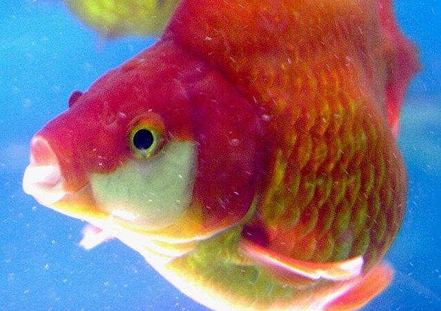 سمكة ذهبية
