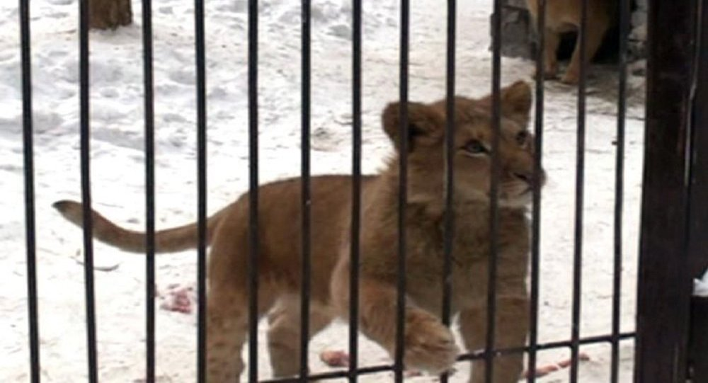 Siberian ligress to mate with African lion
