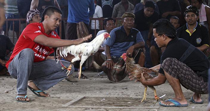 صراع الديكة في إندونيسيا