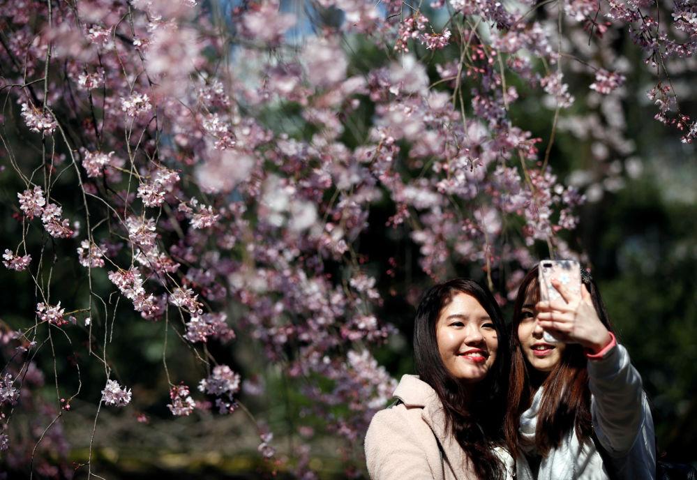 الفتيات تلتقط صور سيلفي على خلفية أزهار الكرز المتفتحة في إحدى الحدائق العامة في طوكيو، اليابان 29 مارس/ آذار 2017