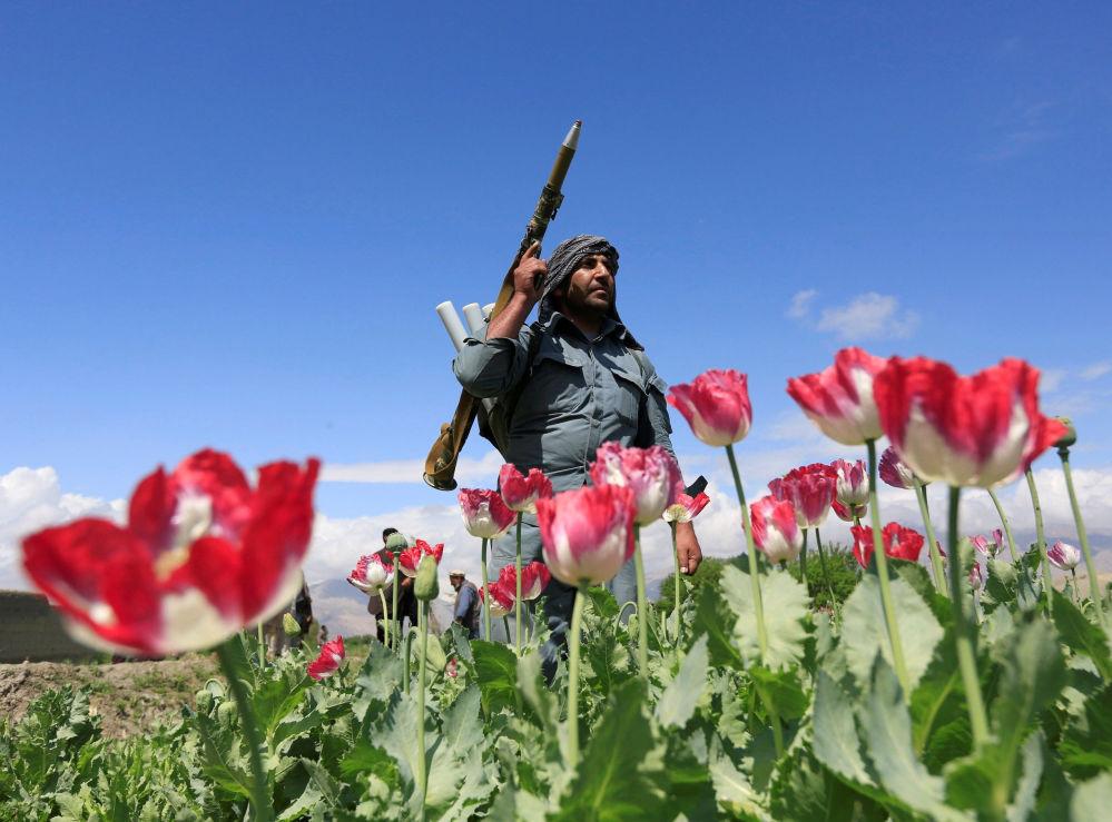 شرطي أفغاني يخرب (يبيد بذورها) أزهار الخشخاش في إطار فعالية مكافحة المخدرات في جلال آباد، أفغانستان 4 أبريل/ نيسان 2017