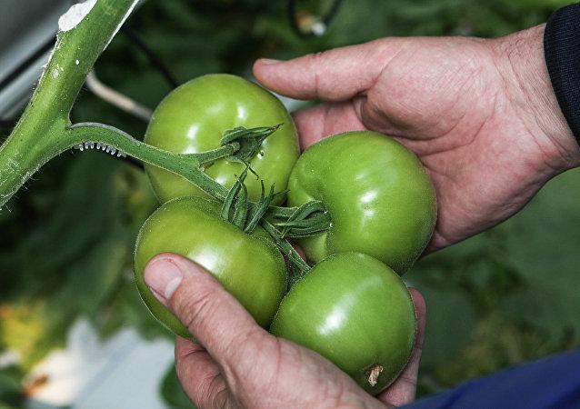 طماطم خضراء