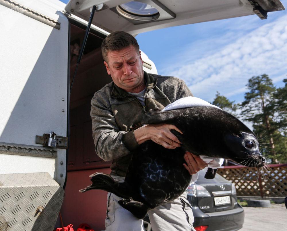 مدير مركز أبحاث وحفظ الحيوانات البحرية، فيتشياسلاف أليكسييف، يستعد لإطلاق هذا الصغير إلى مياة بحيرة لادوجسكوي، روسيا