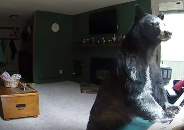 الدب يعزف على البيانو