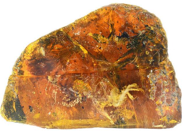 فرخ مجمد ضمن حجر العنبر عمره أكثر من 99 مليون سنة
