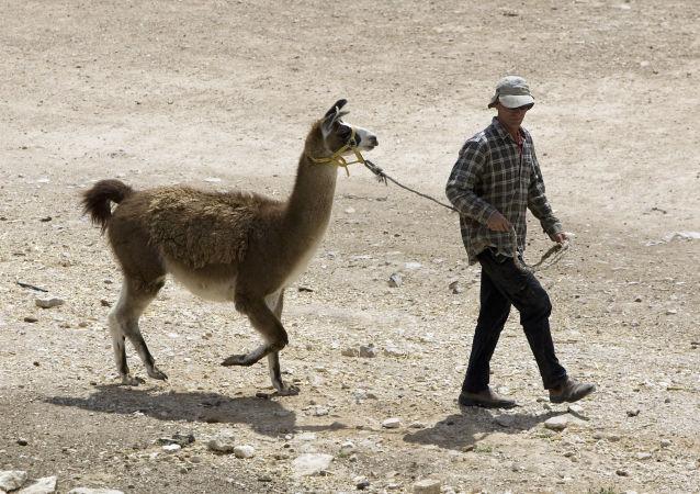 الجيش الإسرائيلي يستخدم حيوان اللاما
