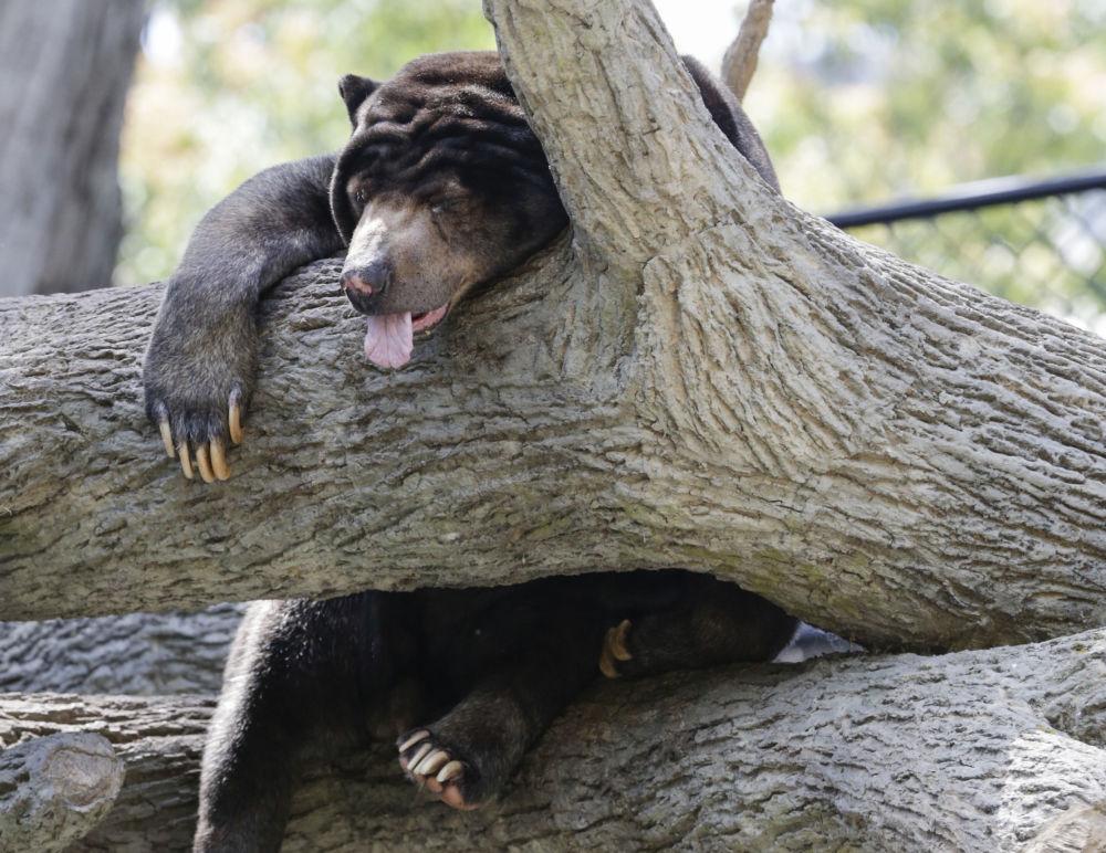 دب الشمس نائم على شجرة في حديقة الحيوانات في المدينة الأمريكية أوماها، 11 يوليو/ تموز 2017