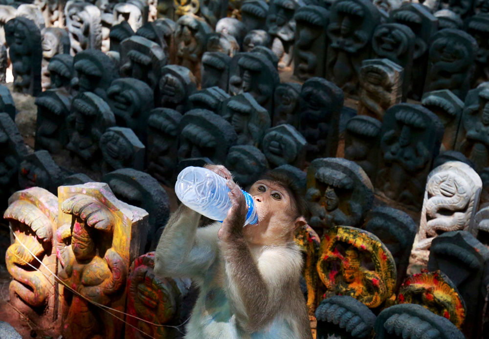 قرد يشرب الحليب وسط تماثيل من الثعابين مكرسة للمهرجان الهندوسي ناغ بانشامي، الذي يحتفل به الثعابين عبادة لتكريم إله الثعبان، داخل معبد على مشارف بنغالور، الهند 27 يوليو/ تموز 2017