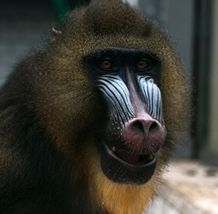 A mandrill at the Kaliningrad Zoo TEST