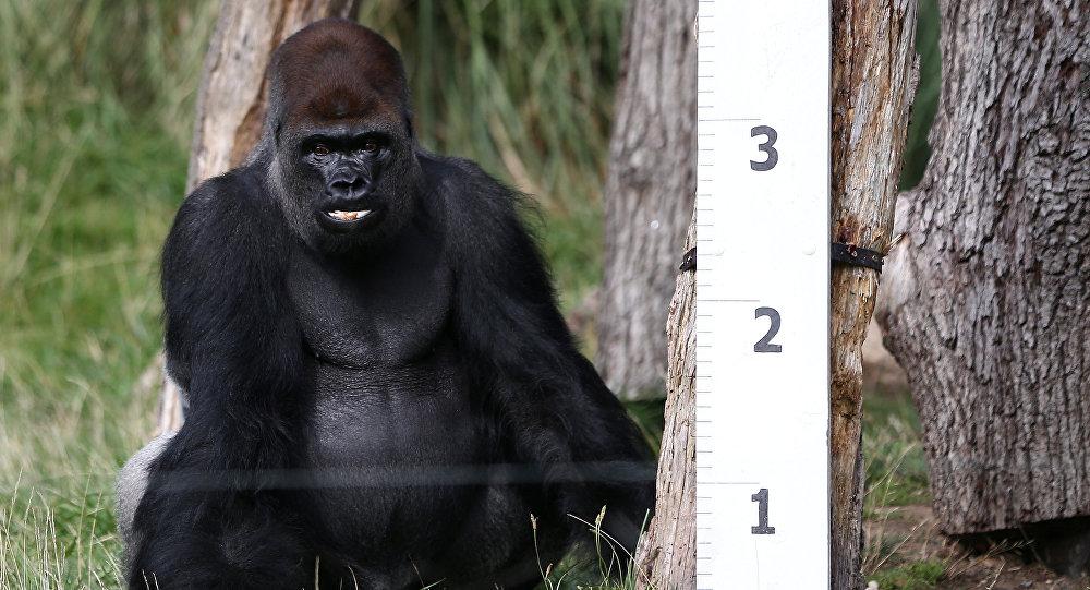 قياس غوريلا