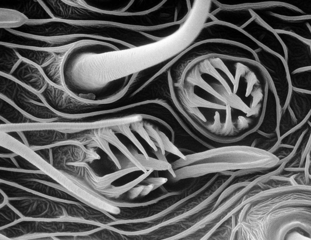 صورة  الروائح المكثفة  لمعهد نيوزيلندا على المجهر الإلكتروني
